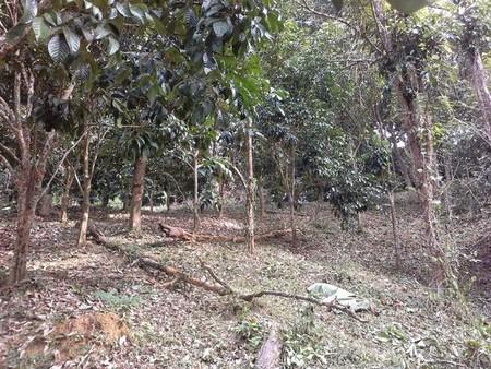 ขายที่สวนผลไม้ และทุเรียน เนื้อที่ขนาด 8.1 ไร่ จ.อุตรดิตถ์